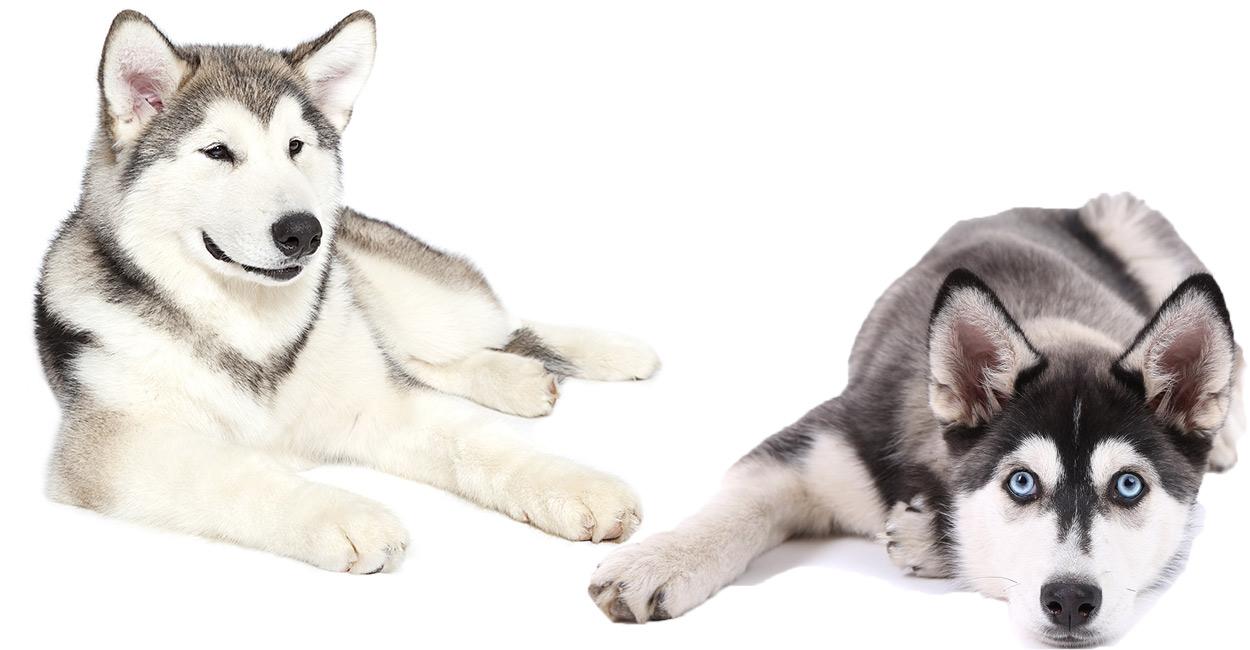 alaskan malamute vs siberian husky