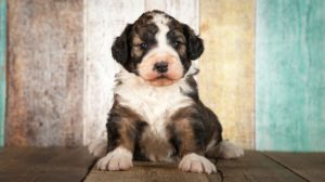 Bernedoodle – The Adorable Bernese Mountain Dog Poodle Mix