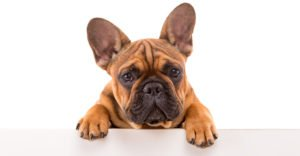 Best Food For French Bulldogs And Their Special Requirements