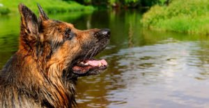 Best Shampoo For German Shepherd Dogs – Our Top Picks!