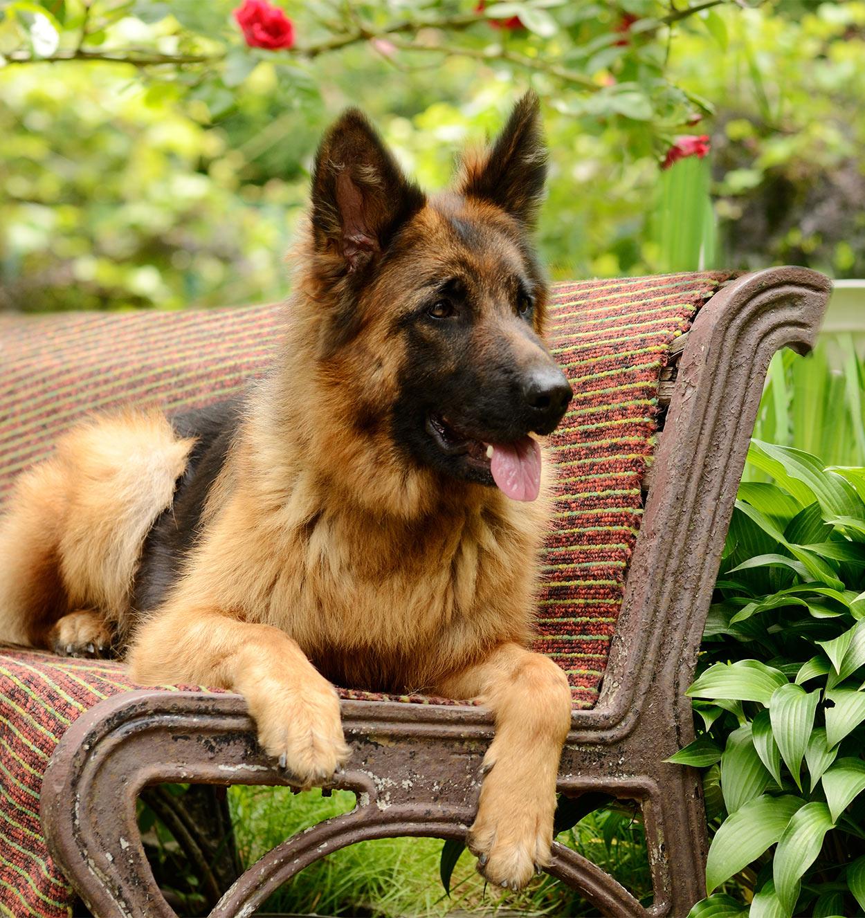German Shepherd on a bench