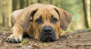 Boerboel – A Complete Guide To A Loyal, Devoted Dog Breed