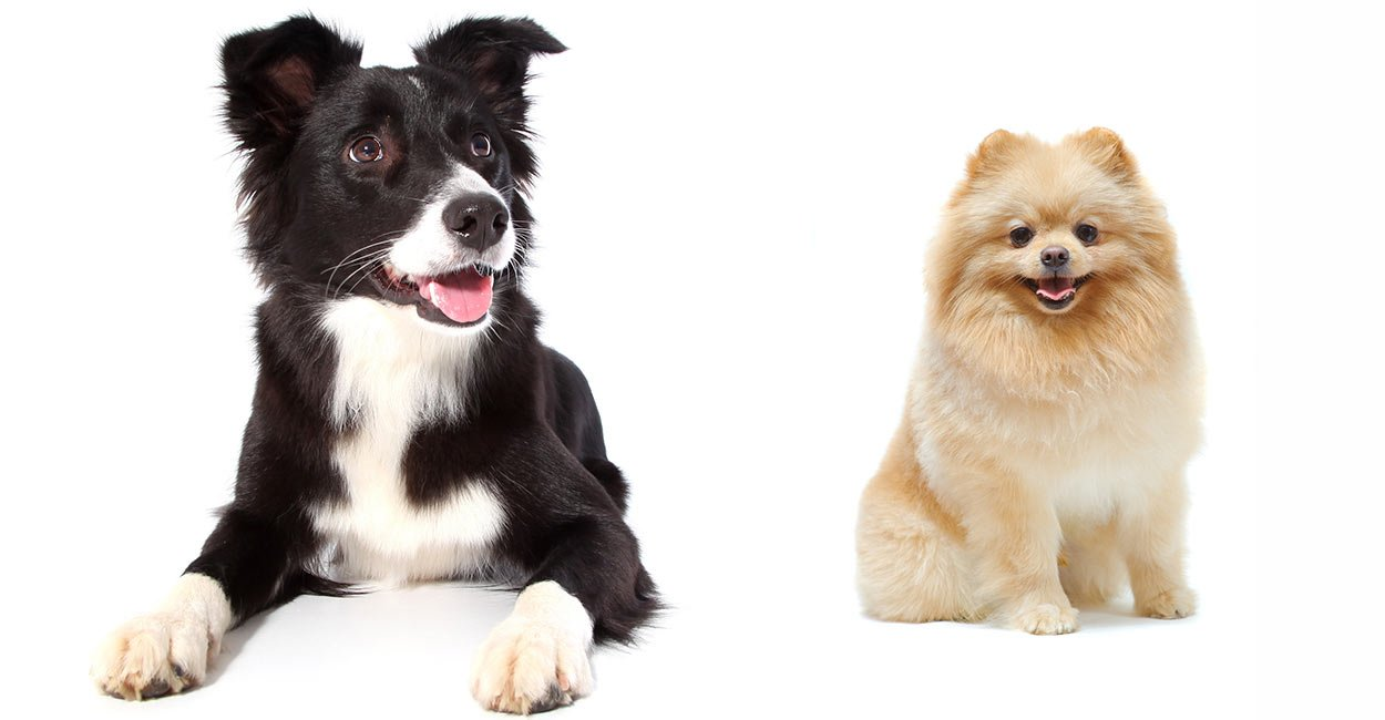 Border Collie Pomeranian Header