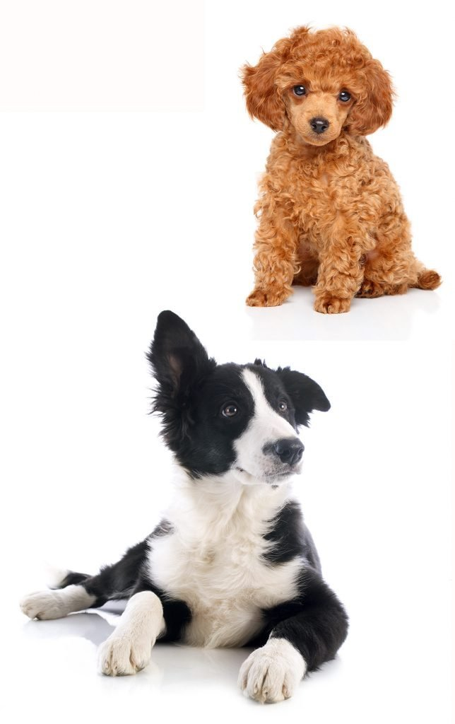 Bordoodle - The Clever Border Collie Poodle Mix Dog