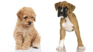 Boxerdoodle – Introducing The Boxer Poodle Dog Mix