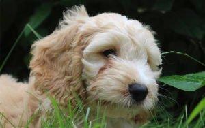 Cockapoo – The Adorable Cocker Spaniel Poodle Mix