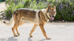 Czechoslovakian Wolfdog – A Real Wolf To Share Your Home?