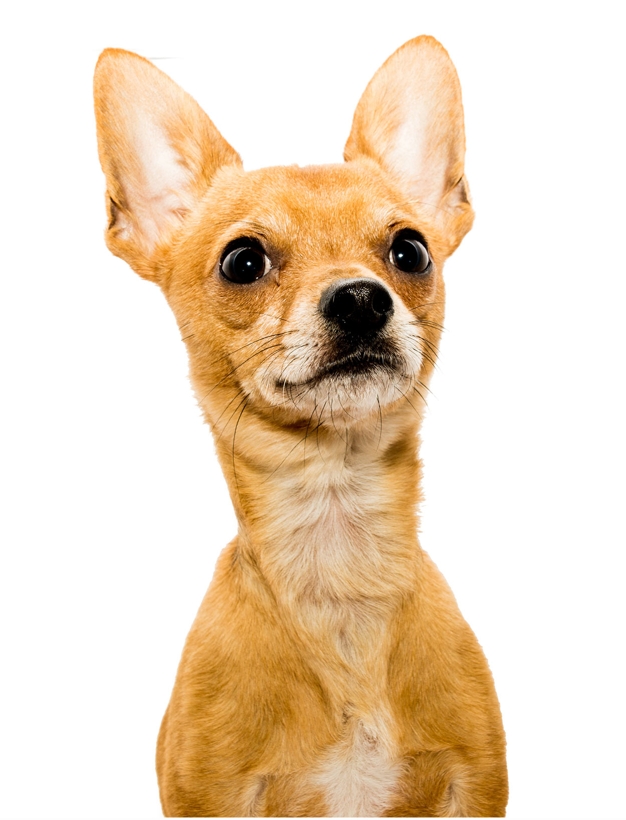 Deer Head Chihuahua Pros And Cons Of The Longer Muzzle