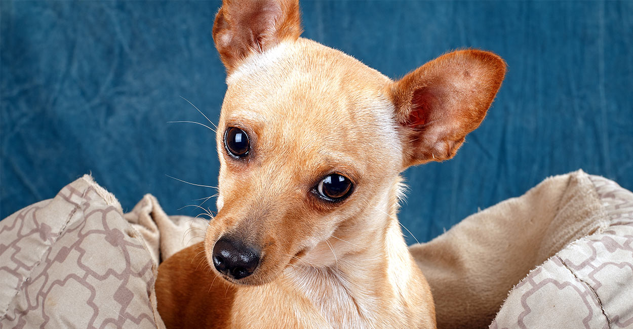Deer Head Chihuahua Pros And Cons Of