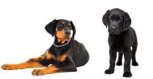 Doberman Lab Mix – Perfect Pet Or Devoted Guardian?