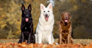 German Shepherd vs Labrador Retriever