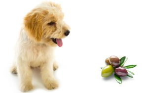 Can Dogs Eat Olives Or Are They Best Left In The Jar?