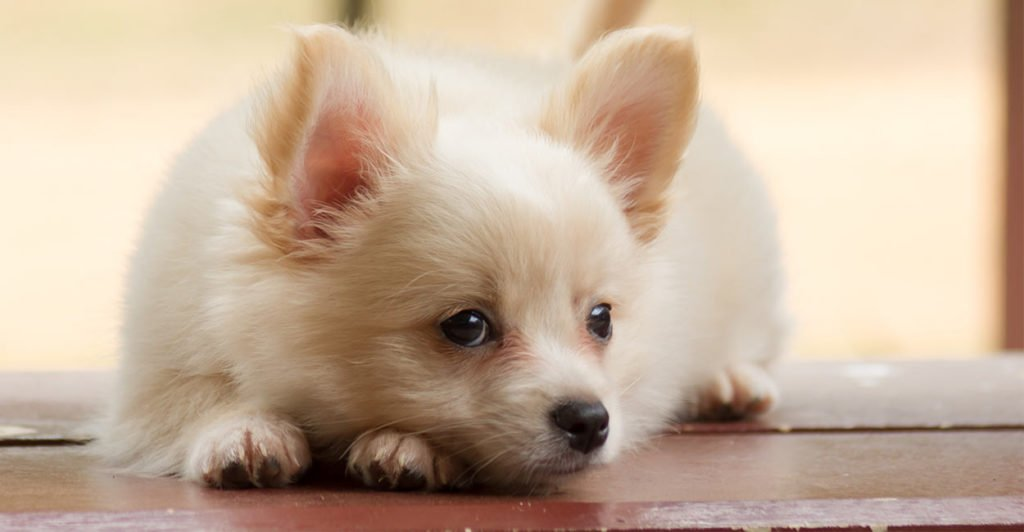 Your Guide To The Pomeranian Chihuahua Mix