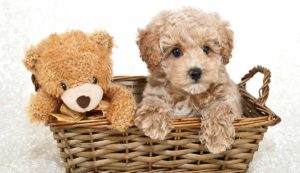 Teddy Bear Dog Breeds – The Pups That Look Like Plushies