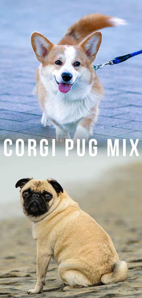 Corgi Pug Mix