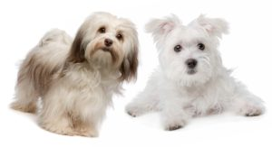 Havanese vs Maltese: How Well Can You Tell Them Apart?