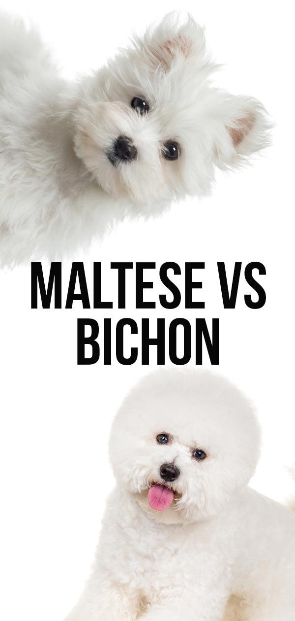 maltese vs bichon frise