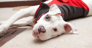 The Best Toys For Pitbulls Who Love to Chew and Play