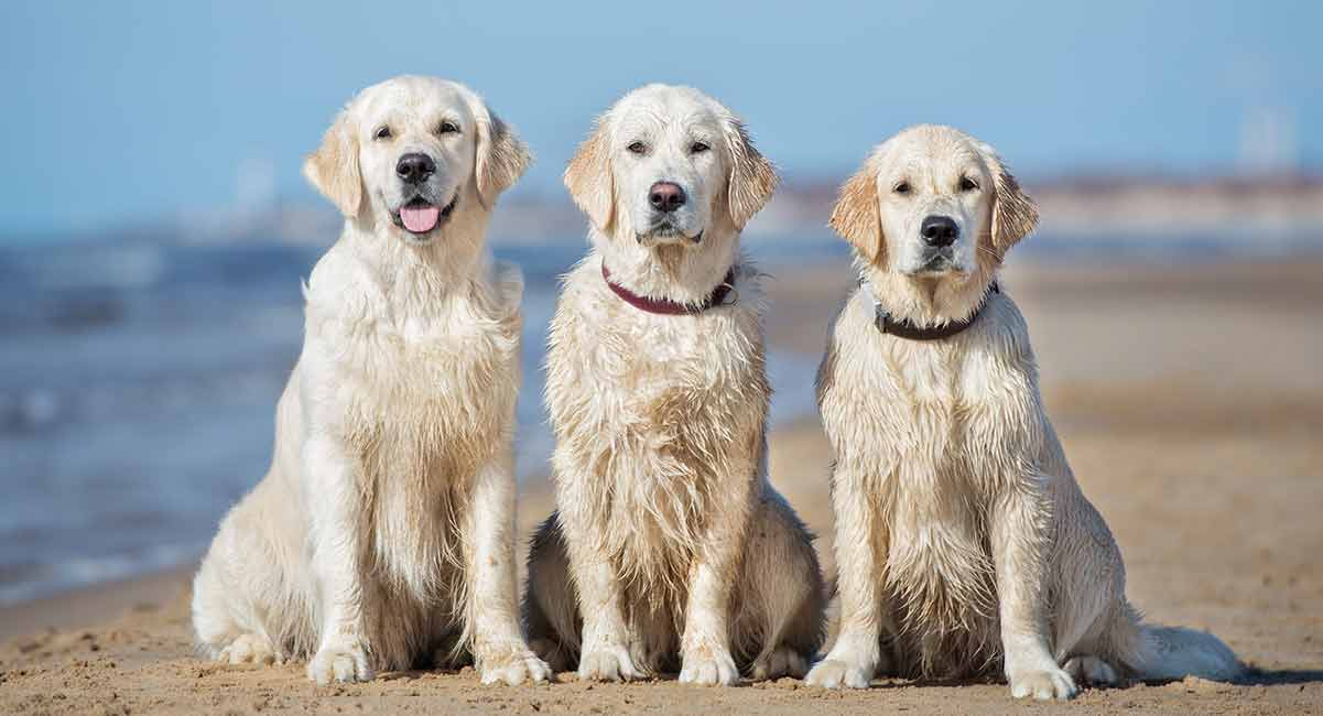 Three golden retrievers on the beach