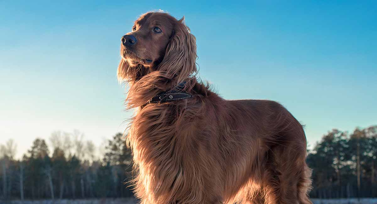 irish setter lifespan