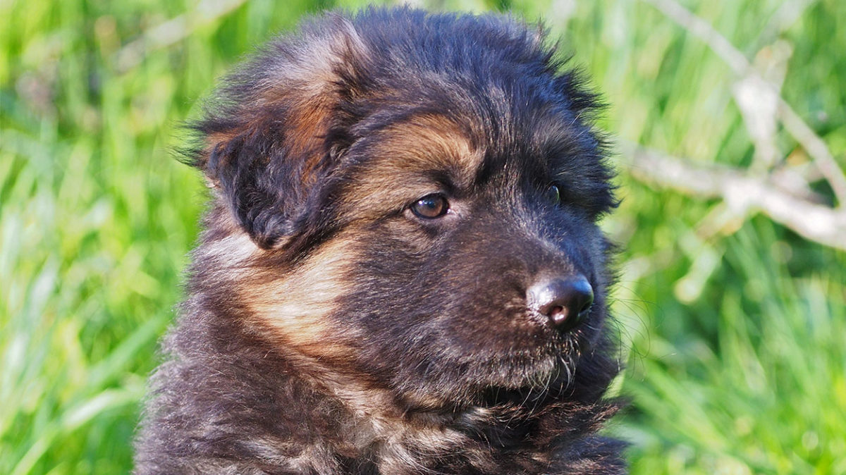 Shiloh Shepherd Akc – Cute of Animals
