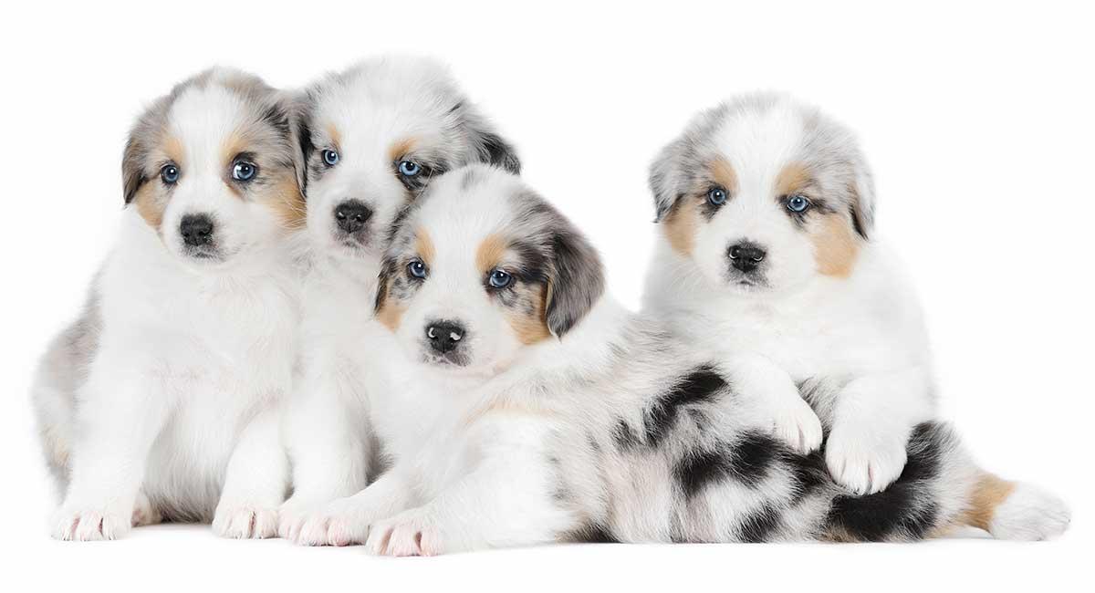 Australian Shepherd Names 200 Amazing Aussie Dog Ideas
