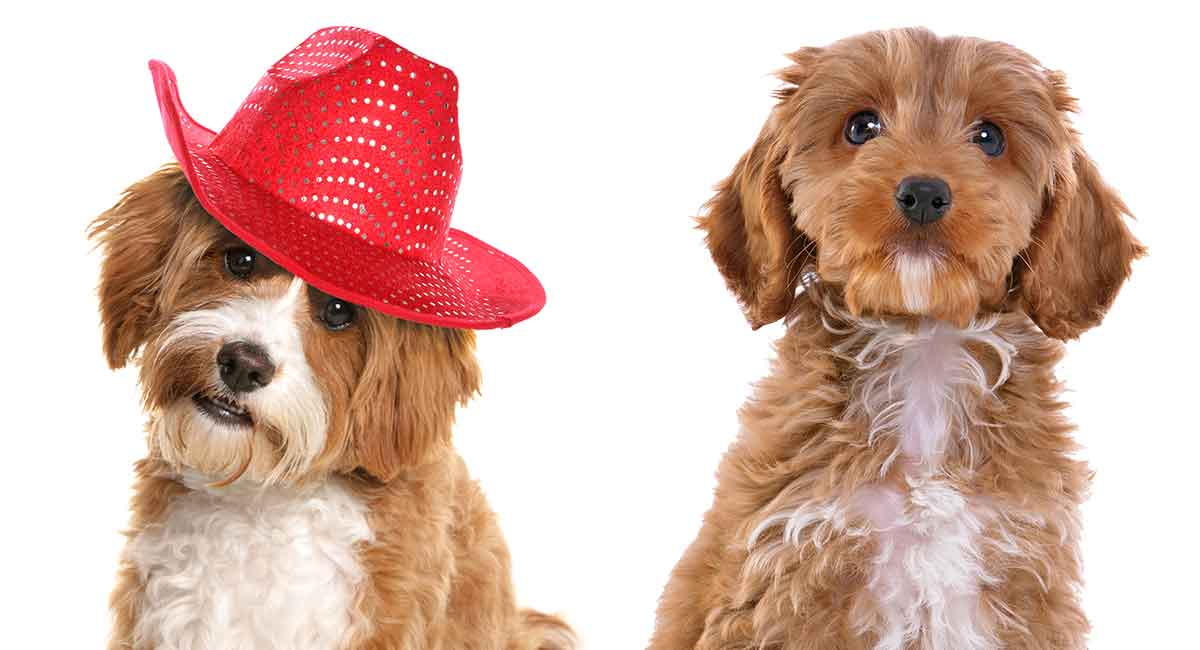 Cavapoo Vs Cockapoo - Which Poodle Mix Is Right For You-2592