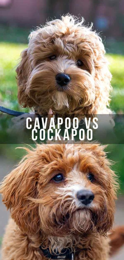 Cavapoo vs Cockapoo - Which Poodle Mix is Right for You?