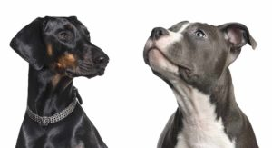 Doberman vs Pitbull