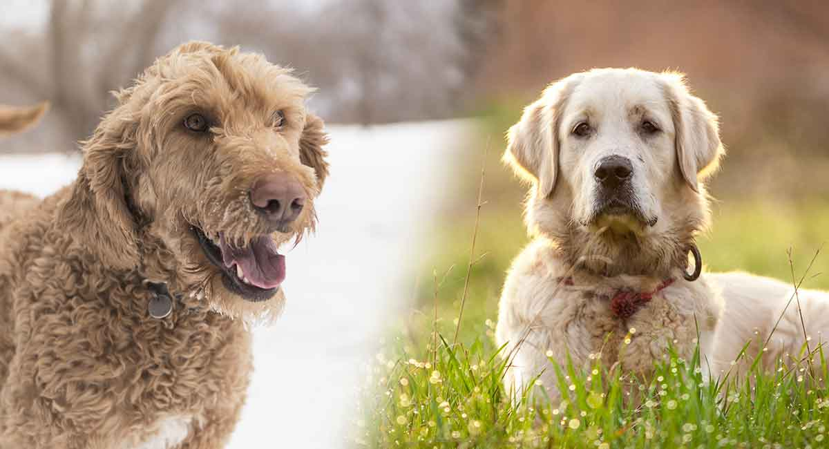 goldendoodle vs golden retriever