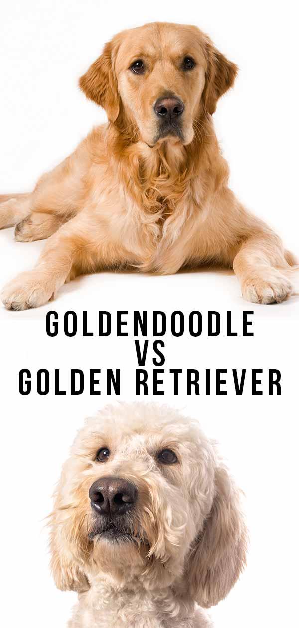 goldendoodle vs golden retriever