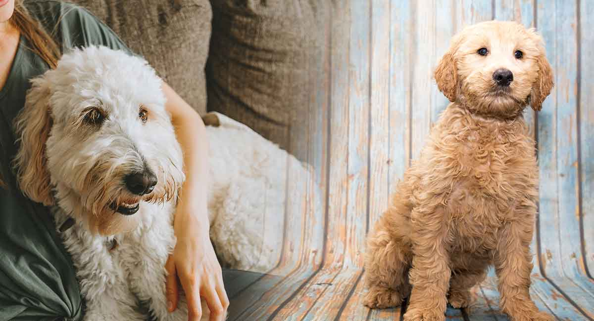 Labradoodle Vs Goldendoodle How To Tell Them Apart