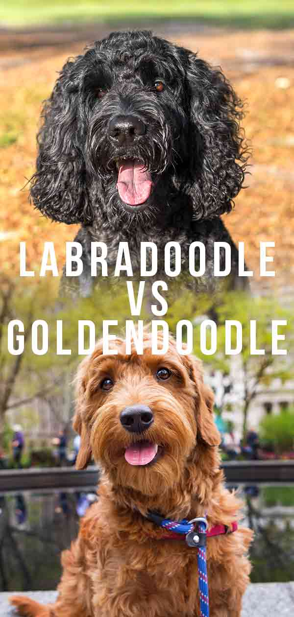 Labradoodle vs Goldendoodle