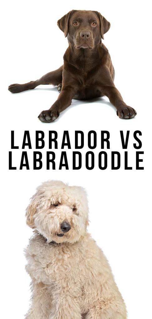 Labrador vs Labradoodle
