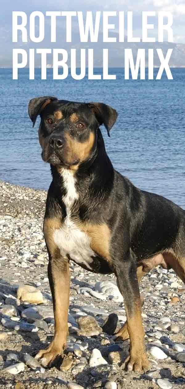 Dog Fighting Pitbull Vs Rottweiler