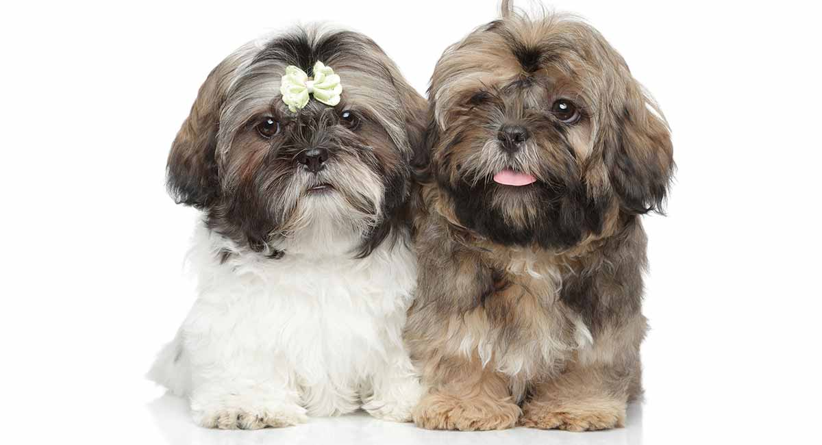 Shih Tzu Names 200 Great Ideas For Your New Fluffy Puppy
