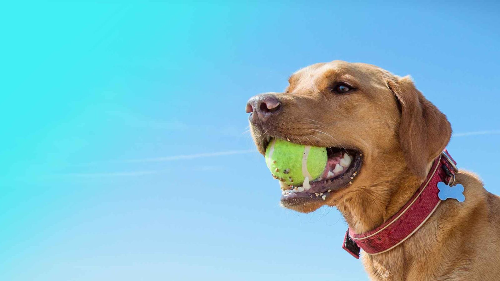 happy dog with a tennis ball on a page about dog training courses