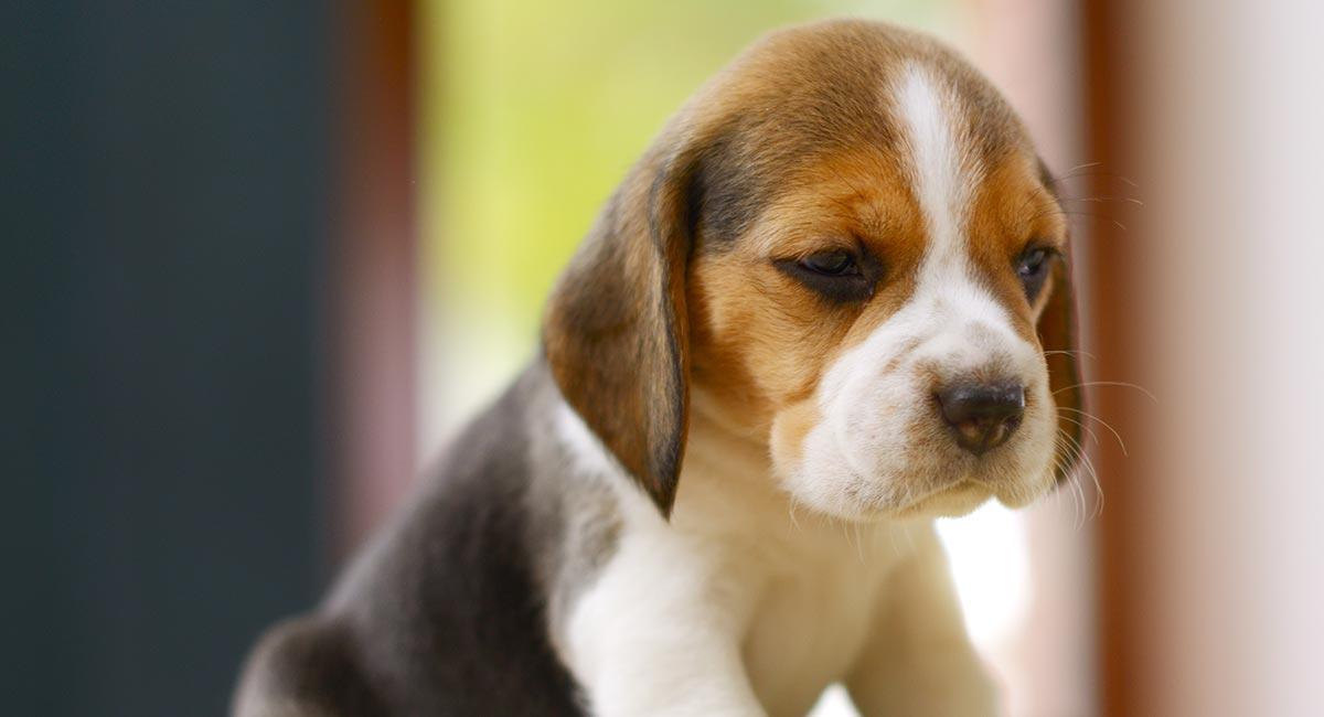 Beagle Names 300 Ideas For Beautiful Beagles