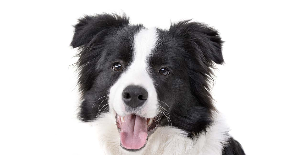 Border Collie names