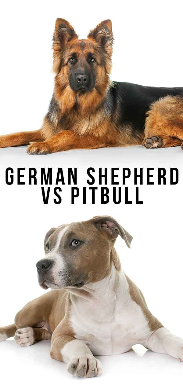 german shepherd vs pitbull