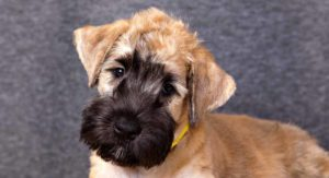 Mini Wheaten Terrier