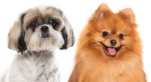 Pomeranian vs Shih Tzu