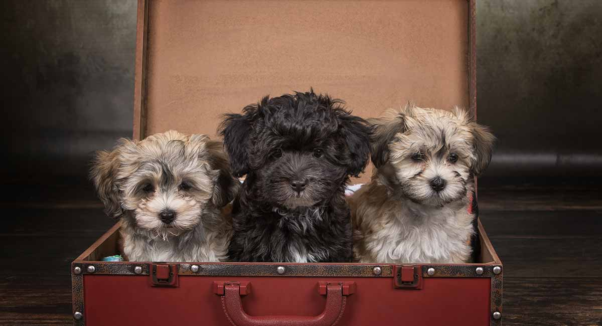 Teacup Havanese - Your Guide To The Miniature Havanese