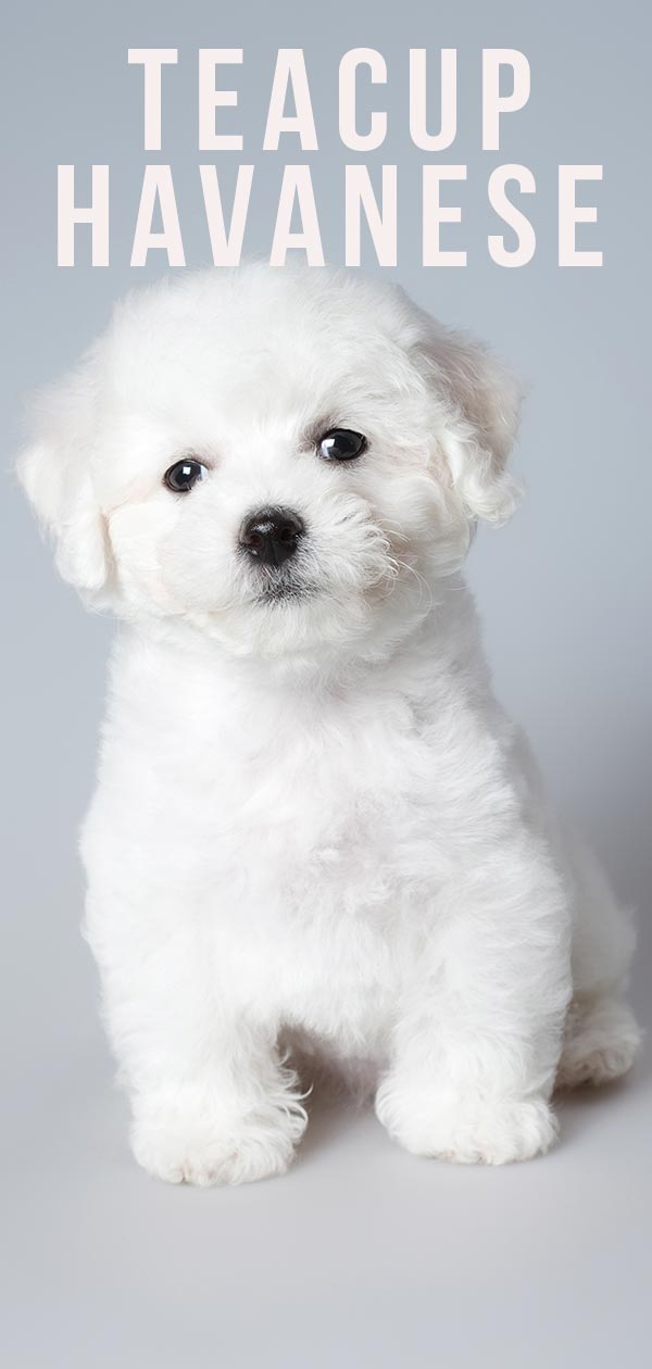 Teacup Havanese Your Guide To The Miniature Havanese