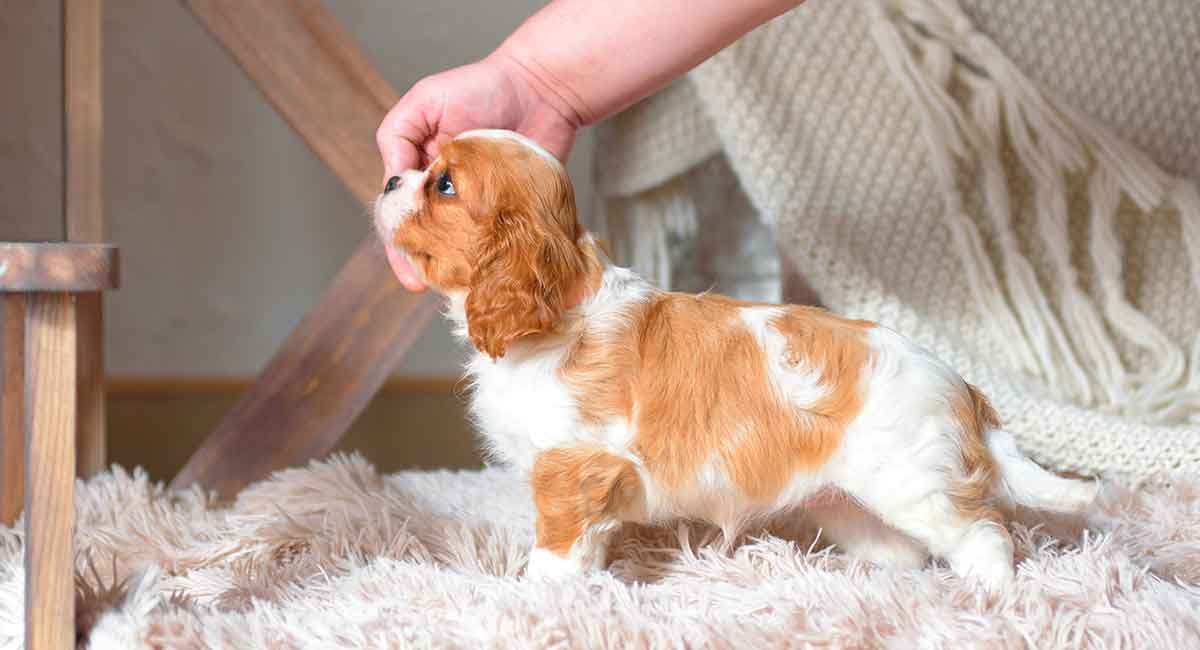 Teacup King Charles Cavalier Your