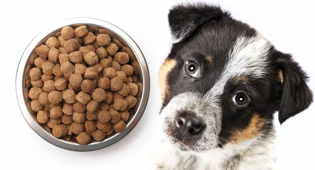blue heeler puppy and food