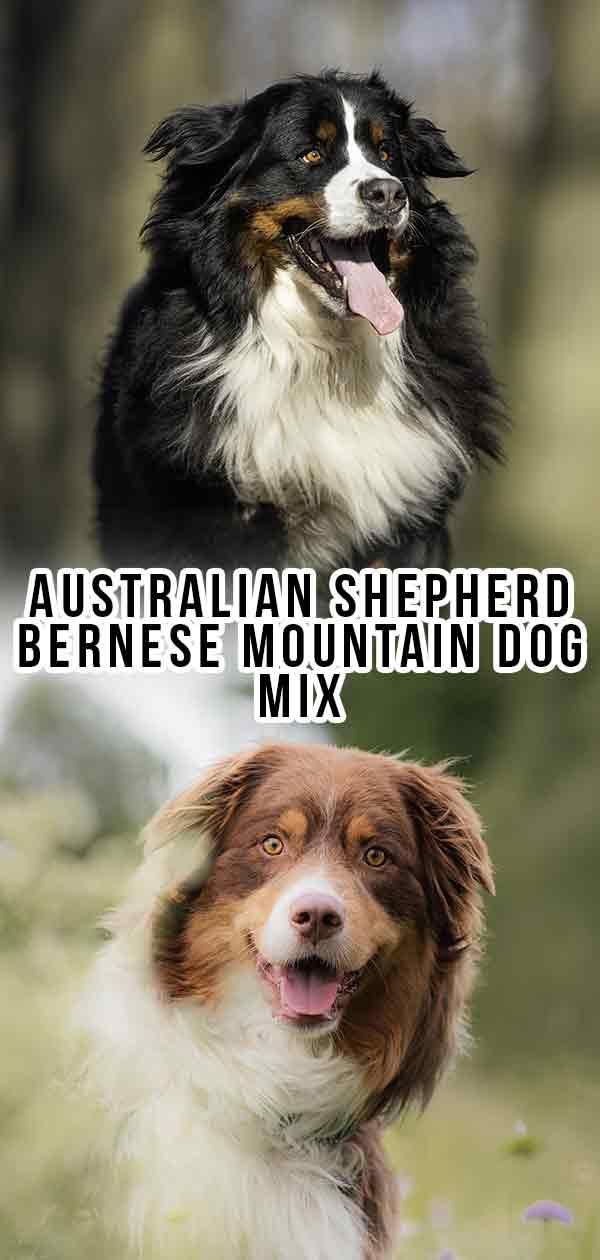 Australian Shepherd Bernese Mountain Dog Mix What To Expect