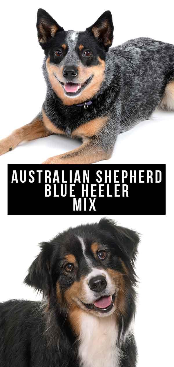 Australian Shepherd Blue Heeler