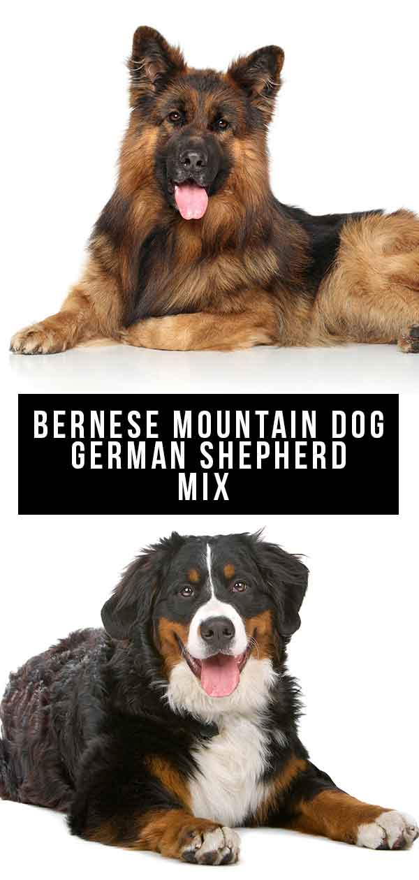 bernese mountain dog german shepherd mix