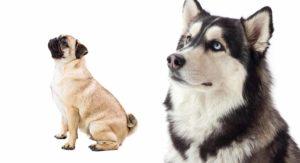 Husky Pug Mix